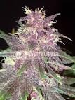 Buy Purple Kush seeds online - Marijuana Seed Shop - Downloadable