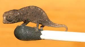 BBC Brasil - Notícias - Encontrado o que pode ser menor camaleão ...