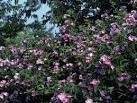 Image result for Rosa setigera