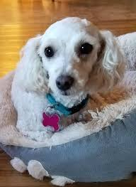 adopt cash on poodles searching and pets
