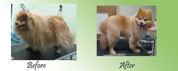 american eskimo dog lion cut before and after