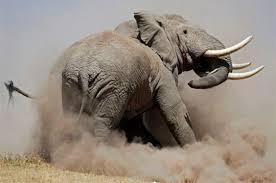 La Sourate de l'Eléphant dans ELEPHANT