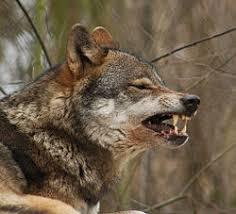 گرگ سگ