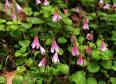 Image result for Linnaea borealis ssp. americana