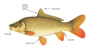 DFO   Asian Carp  Common Carp  Cyprinus carpio  while originally from Asia  arrived in North America much earlier and is not one of those species referred to as Asian carps
