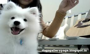 american eskimo dog lion cut dogs gallery may 2012