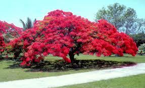 A beautiful Poinciana tree in Brisbane