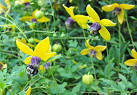 the sunny disposition of clematis tangutica - A Way to Garden