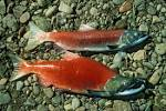 Image result for Oncorhynchus nerka