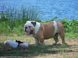 american pitbull terrier for sale in dallas texas english bulldog puppies for sale from texas english bulldog