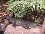Image result for Alligator sinensis