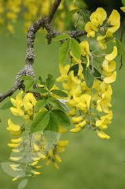 Tree With Bright Yellow Flowers - small garden trees scotch laburnum laburnum alpinum pendulum in