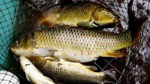 Carp are clogging Australia     s rivers and destroying native fish  The Sydney Morning Herald