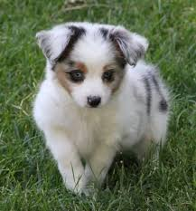 3 australian shepherd mix puppies for adoption best 25 puppies for sale ideas on pinterest baby huskies for