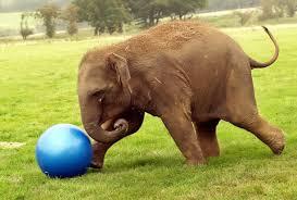 слона опасен за човека