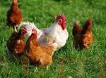 Kura z większym grzebieniem dostaje więcej plemników   Aktualności ...