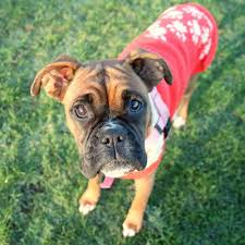 boxer dog uk adopt a boxer scotland aabs is a registered boxer charity