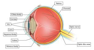Structure Of Human Anatomy The Internal Structure The Human Eye