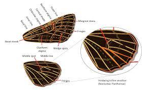 Owlet moths