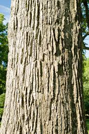 White Oak Bark Bur Oak Quercus Macrocarpa Venerable Trees