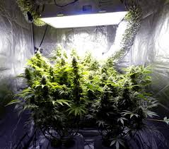 7 ways to improve bud quality grow weed easy