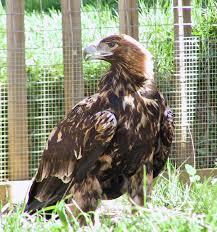 True eagles