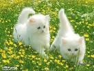 اجمل قطه  Images?q=tbn:ANd9GcRYziluS9xgydguBU3kGAYrhp3TvxNa9F2qOLbtUwEAJDZBFbpebQM5BKw