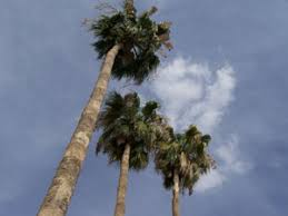 That     s for Sandy   a palm tree sky   but most all of the other plants had wee shriveled leaves and a few limp blooms  Yarn Harlot