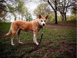 affenpinscher brown korean jindo dog breed information pictures
