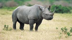 Image result for rhinos