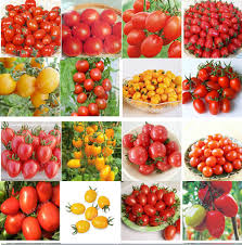 online buy wholesale indoor tomato plants from china indoor tomato