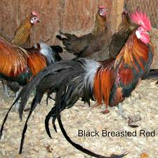 backyard chickens for sale oriental and long tail for sale
