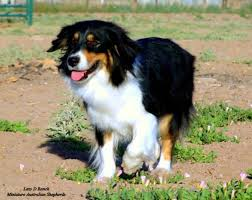 australian shepherd queen creek az pastdams