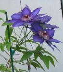 File:Clematis.jpg - Wikimedia Commons