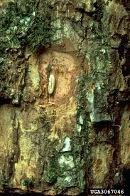 White Oak Bark Forest Pest Insects In North America A Photographic Guide