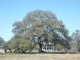 Sam Houston Oak, Gonzales,