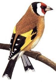 عصافير images?q=tbn:ANd9GcR