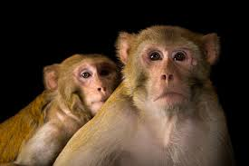 Rhesus Monkey   National Geographic