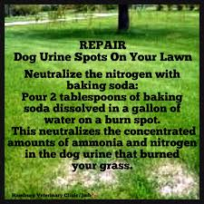 a natural way to repair brown grass from dog urine pouring 2