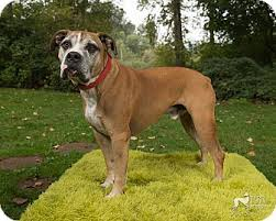 affenpinscher brown salem or boxer meet kobe a dog for adoption
