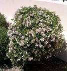 Image result for Bauhinia lunarioides