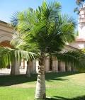 Image result for Ravenea rivularis