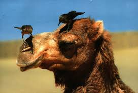 Верблюды могут быть переносчиками смертельного для человека вируса