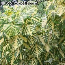 toptropicals com rare plants for home and garden plants i need