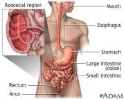 Image result for small intestine meets colon