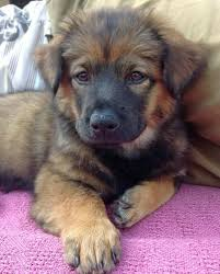 husky x australian shepherd for sale best 25 chow chow mix ideas only on pinterest german dogs