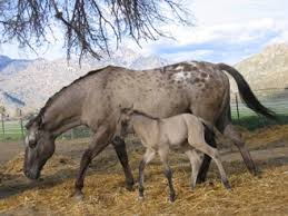 Grulla mares kick but *Please join* (Mares wanted to form a mare herd, please have a grulla horse, no stallions a lowed till later on in another herd topic.) Images?q=tbn:ANd9GcRgi2NV3QdNKV3O-C1cdGbM82s9xQLnY1-KDtn473w4RuSyMXor_g