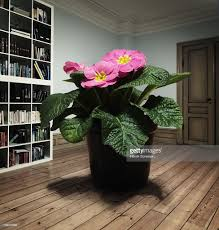 giant flower pot plant standing on the floor stock photo getty