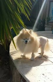 american eskimo dog lion cut meet stinky he is a 1 and a half year old pomeranian he