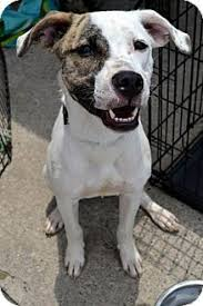 american pitbull terrier for sale in dallas texas urgent sweet shy needs loving home to feel safe again 9